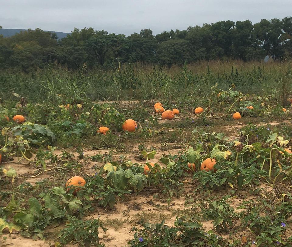 pumpkin 2019 k